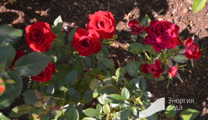 Розы в зоне огорода.