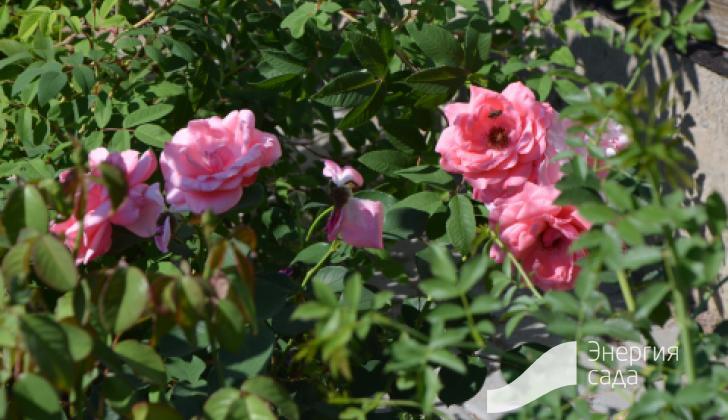 Розы в цветнике.
