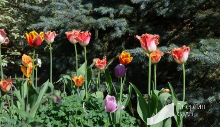 Тюльпаны в лесной зоне.