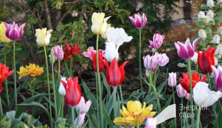 Весенние цветение тюльпанов.