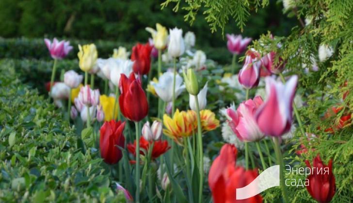 Тюльпаны в куртине с живой изгородью из кизильника.