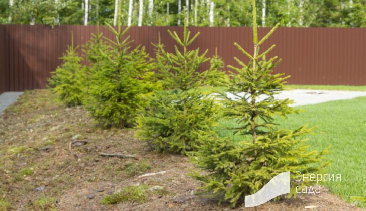 Посадка елок и устройство лесной зоны